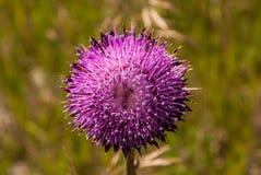 Cardo selvatico in fioritura Immagine Stock Libera da Diritti