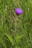 Cardo selvatico malinconico nel selvaggio nelle montagne scozzesi di Cairngorm Immagini Stock