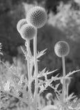 Cardo selvatico nella luce infrarossa Fotografia Stock