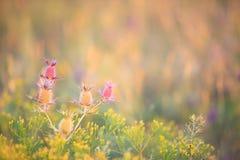 Cardo selvatico porpora falso (Eryngo di Leavenworths) Fotografie Stock Libere da Diritti