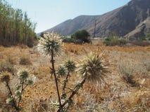 Cardo selvatico selvatico Santorini Grecia immagine stock