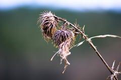 Cardo selvatico sbiadito all'aperto nell'inverno Immagine Stock Libera da Diritti