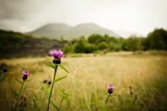 Cardo selvatico scozzese Immagine Stock Libera da Diritti