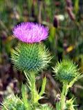 Cardo selvatico scozzese Fotografie Stock Libere da Diritti