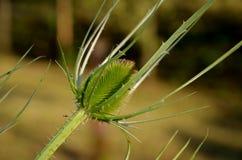 Cardo selvatico spinoso Fotografia Stock
