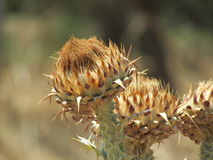 Cardo selvatico su Zacinto Fotografie Stock