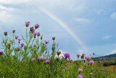 Cardo selvatico sui prati contro un Rainbow Fotografie Stock Libere da Diritti