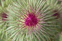 Cardo selvatico unblown splendido del fiore del germoglio Immagini Stock
