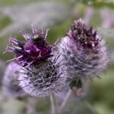 Cardo selvatico viola con una mosca ed i formicolii di sharp Fotografia Stock Libera da Diritti