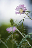Cardo thistle. In a spring field Stock Images