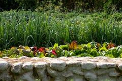 Cardo verde y rojo de la hoja que crece en el huerto en Babylonstoren, Cape Town, Sur?frica fotos de archivo