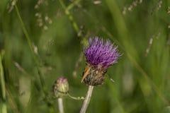 Cardo violeta con el insecto en hierba verde Fotografía de archivo libre de regalías