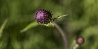 Cardo violeta con el insecto en hierba verde Imagenes de archivo
