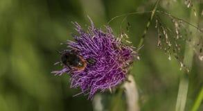 Cardo violeta con el insecto en hierba verde Fotos de archivo libres de regalías