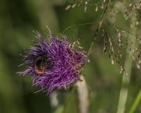 Cardo violeta con el insecto en hierba verde Imagen de archivo libre de regalías