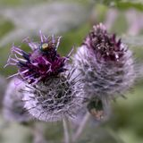 Cardo violeta con una mosca y los picores del sostenido Fotografía de archivo libre de regalías