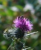 Cardo y abeja Fotografía de archivo
