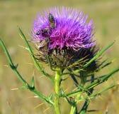 Cardo y abejas Fotografía de archivo libre de regalías
