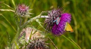 Cardo y mariposa imagen de archivo
