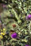 Cardo y mariposa Imagen de archivo libre de regalías