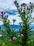 Cardo y montañas Imagen de archivo libre de regalías