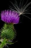 Cardo y semilla Foto de archivo