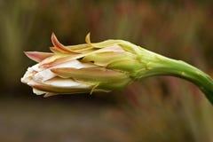 Cardon blomma (den Stenocereus fimbriatusen) Royaltyfria Bilder
