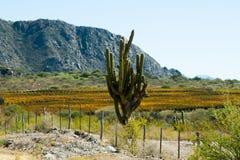 Cardon Cactus stock photography