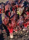 Cardon de rhubarbe, bêta vulgaris en soleil d'hiver image libre de droits