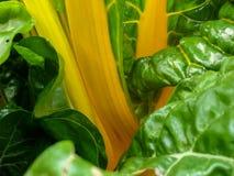 Cardon jaune Photos stock