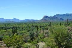 Cardon kaktus, Baja California del Sur, Mexico Royaltyfri Bild