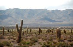 Cardon Kaktus-Feld Lizenzfreies Stockbild