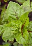 Cardon vert frais Photos libres de droits