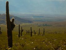 Cardones and cactus that grow between the arid mountains of the Argentine north royalty free stock image