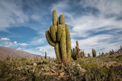 Cardones Cactus at Pucara de Tilcara pre-inca ruins - Tilcara, Jujuy, Argentina stock image