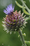 Cardoon Artichoke Stock Photo