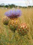 Cardoon - artichoke thistle Stock Image