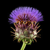 Cardoon , Cynara cardunculus, aka artichoke thistle, cardone, ca Royalty Free Stock Photo