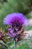 Cardoon, Cynara cardunculus, flower over green background Stock Photos