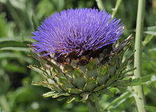 Cardoon Stock Photography