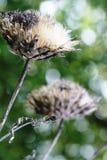 Macro Cardoon thistles in the sunlight. Macro close-up of Cardoon thistle flower heads in the sunlight. Abstract background Stock Image