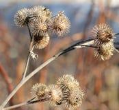Cardos secos de la espina del otoño Fotografía de archivo libre de regalías