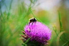Cardos y abejorros Imagenes de archivo