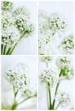 Cards Set of Onion Flowers Stock Photos