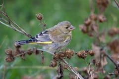 carduelis虎尾草属欧洲greenfinch 免版税库存照片