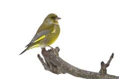 Carduelis虎尾草属,欧洲greenfinch站立在分支的,孚日省,法国 库存图片