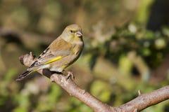 carduelis虎尾草属greenfinch 库存图片