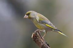 carduelis虎尾草属greenfinch 免版税库存图片