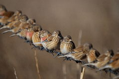 Carduelis cannabina Stock Images