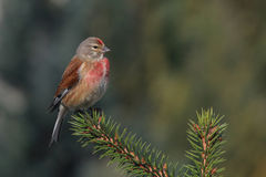 Carduelis cannabina sitting on a branch. Conifer Royalty Free Stock Photo